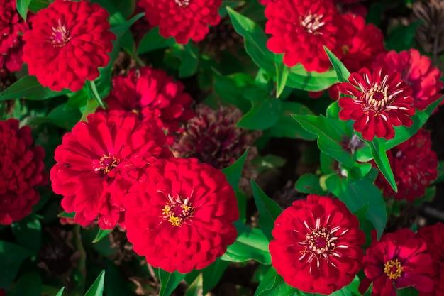 Bei fiori rossi di zinnia nel giardino. concetto di natura