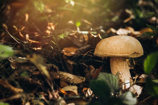 Bei funghi velenosi su un ceppo nella foresta di autunno