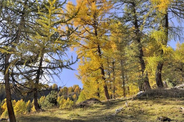 Bei larici gialli in autunno in montagna