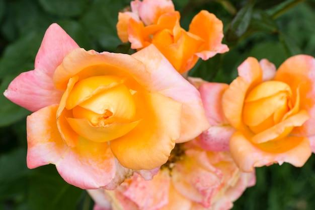Bei petali di rosa del primo piano