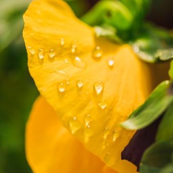 Bei petali freschi gialli con rugiada