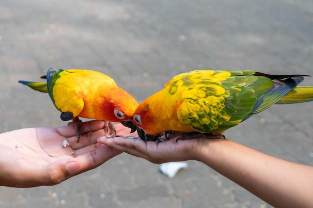 Bei piccoli pappagalli che stanno sulla mano del bambino e che mangiano il seme di girasole a disposizione