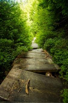 Bei pini verdi sulle montagne carpatiche in ucraina
