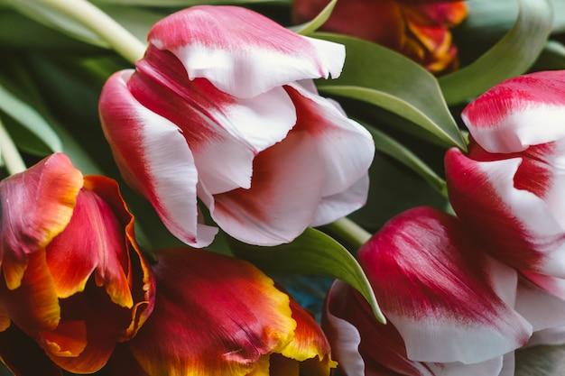Bei tulipani per la festa delle donne dell'8 marzo primavera