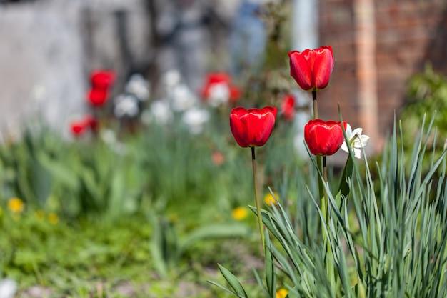 Bei tulipani rossi nel giardino di primavera