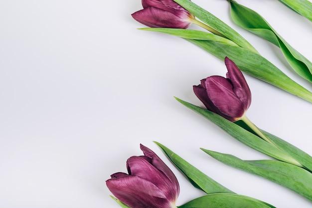Bei tulipani viola contro il contesto bianco