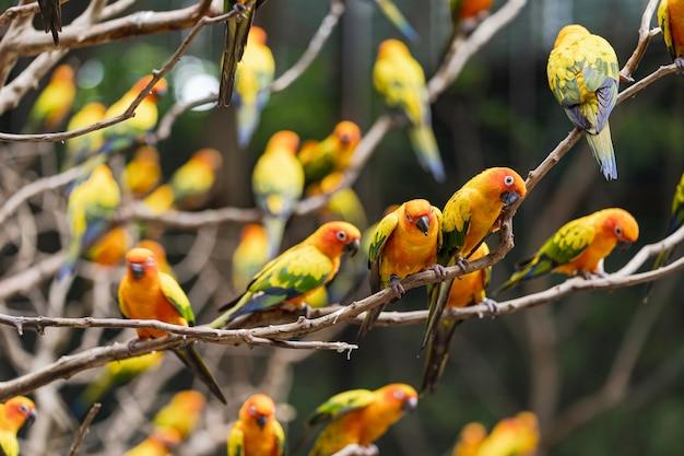 Bei uccelli variopinti del pappagallo di conuro del sole