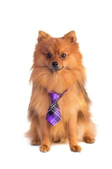 Bel cane color caramello con cravatta