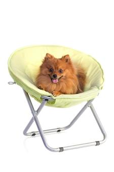 Bel cane color caramello