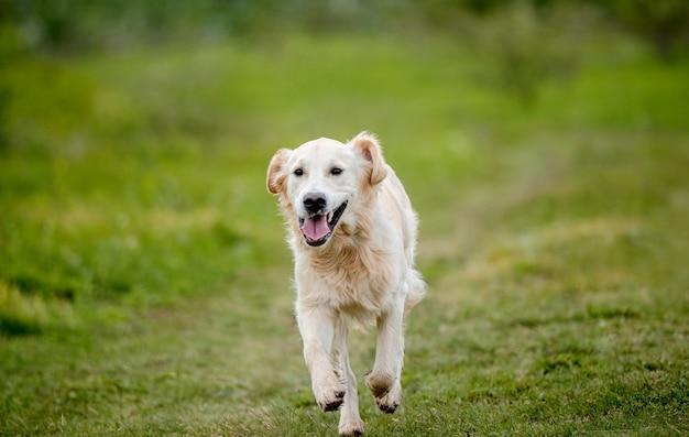 Bel cane golden retriever in esecuzione sulla natura di primavera
