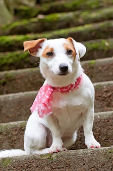 Bel cane jack russell terrier con una sciarpa rosa