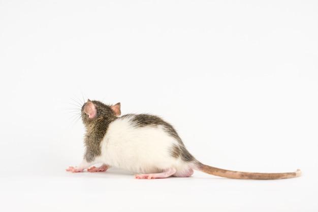 Bel ratto di colore bianco-grigio