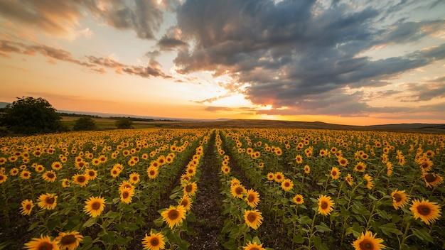 Bel tramonto in un campo di girasoli