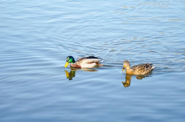 Bella anatra che galleggia sulla superficie del fiume di primavera