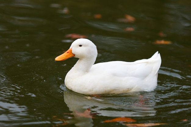 Bella anatra nuoto in un lago