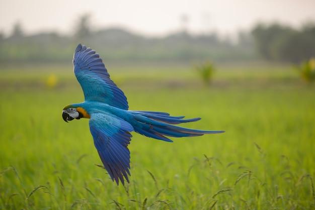 Bella azione di volo dell'uccello del macaw nel campo