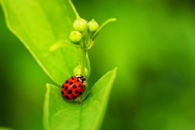 Bella coccinella rossa che striscia su una foglia verde, bello sfondo naturale.