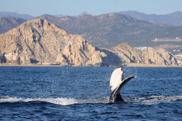 Bella coda di balena nel corpo blu di acqua con la montagna