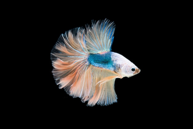 Bella colorata di pesce betta siamese