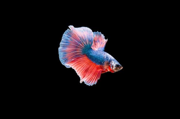 Bella colorata di pesce betta siamese