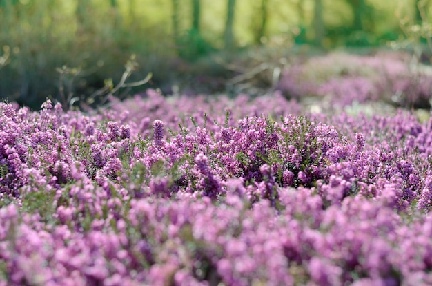 Bella copertura di erica viola in un campo pieno di luce del sole primaverile.