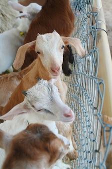 Bella coppia bambino capre bianche.