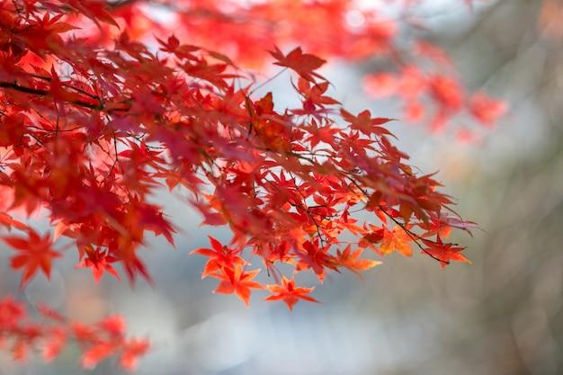 Bella dell'autunno foglie colorate in giappone.