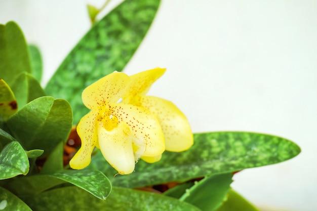 Bella dell'orchidea di pantofola della signora gialla