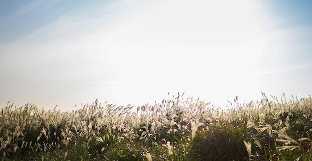 Bella erba d'argento o miscanthus sinensis di un'isola di jeju all'autunno della corea.