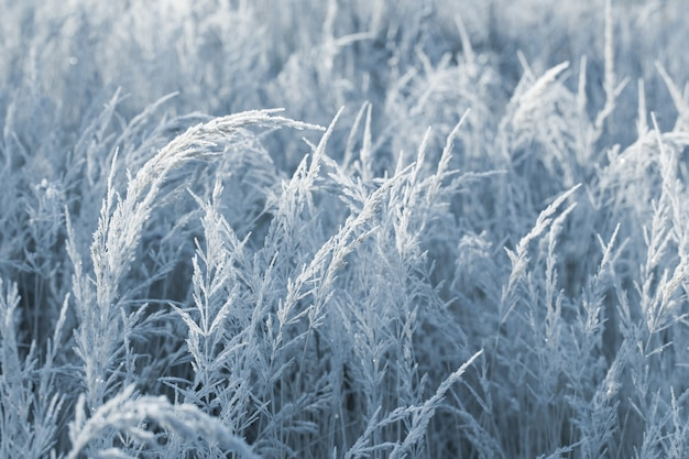 Bella erba selvatica nel gelo