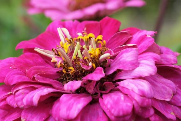 Bella estate fiore zinnia