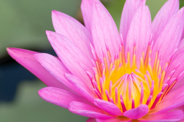 Bella fioritura della ninfea in stagno