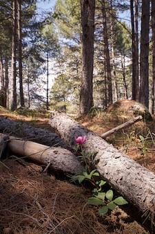 Bella fioritura fiore di peonia in una mattina di primavera accanto a tronchi di pino