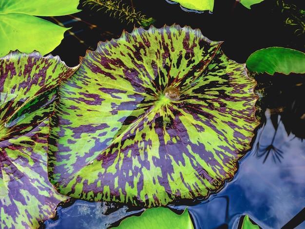 Bella foglia di loto nello stagno