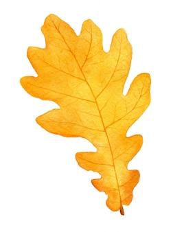 Bella foglia di quercia dell'acquerello di autunno su bianco