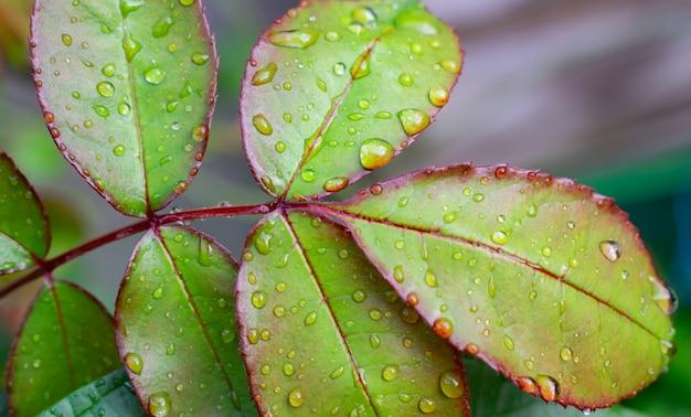 Bella foglia verde rosa con gocce di pioggia.