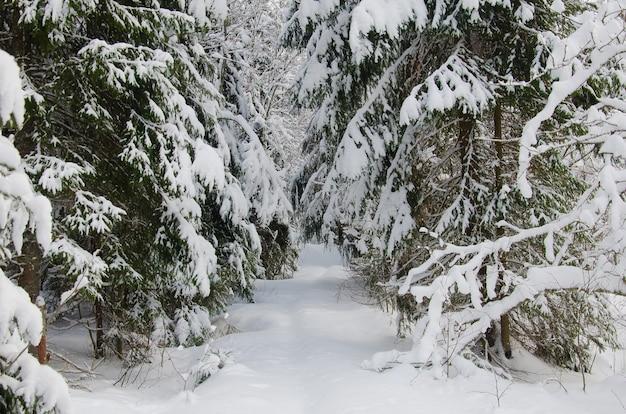 Bella foresta di abeti invernali