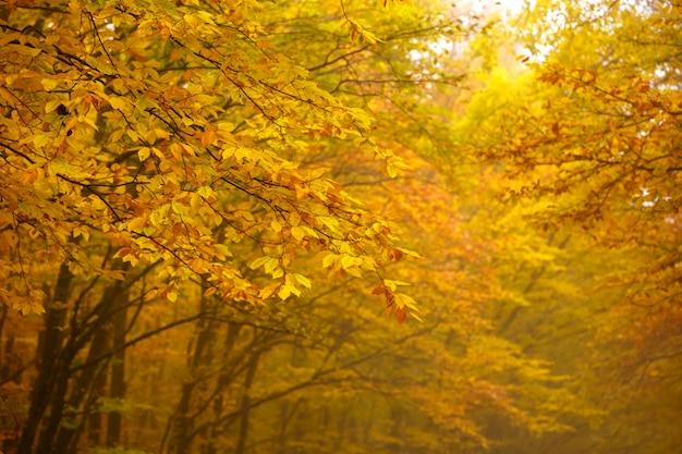 Bella foresta di autunno con foglie gialle in nebbia