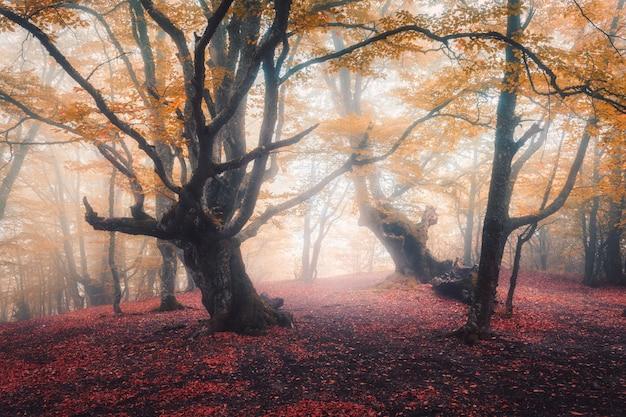 Bella foresta leggiadramente in nebbia in autunno. paesaggio colorato con alberi incantati con foglie arancioni e rosse sui rami.