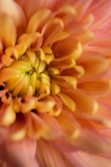 Bella macrofotografia di fioritura del crisantemo
