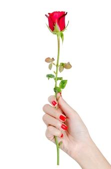 Bella mano della donna con i chiodi rossi che tengono rosa rossa isolata su fondo bianco