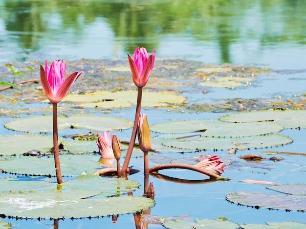 Bella natura rosa waterlily fiore o fiore di loto e pianta di loto, foglia di loto sulla superficie dell'acqua nel lago o stagno