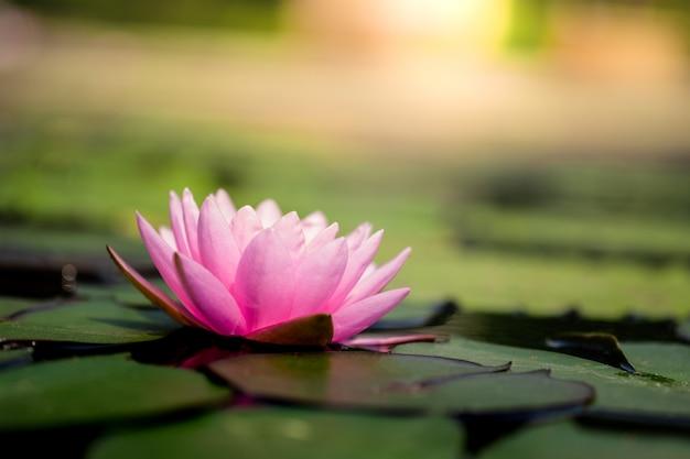 Bella ninfea rosa chiaro