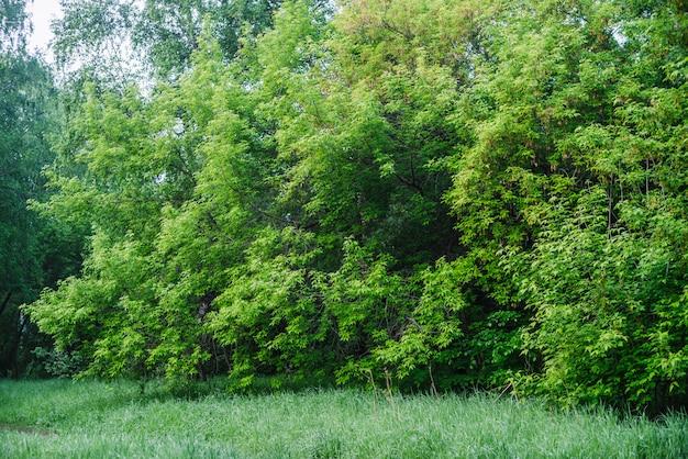 Bella parete della vegetazione degli alberi lascia sul bordo della foresta