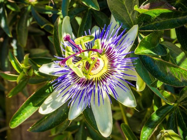 Bella passiflora dai petali viola con foglie verdi