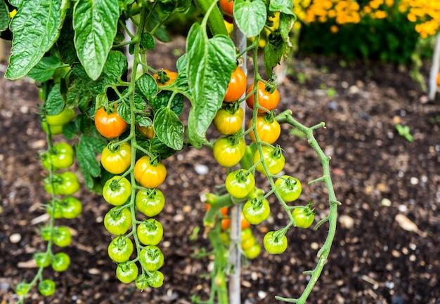 Bella piccola pianta di pomodorini con pomodori maturi e gustosi su di esso