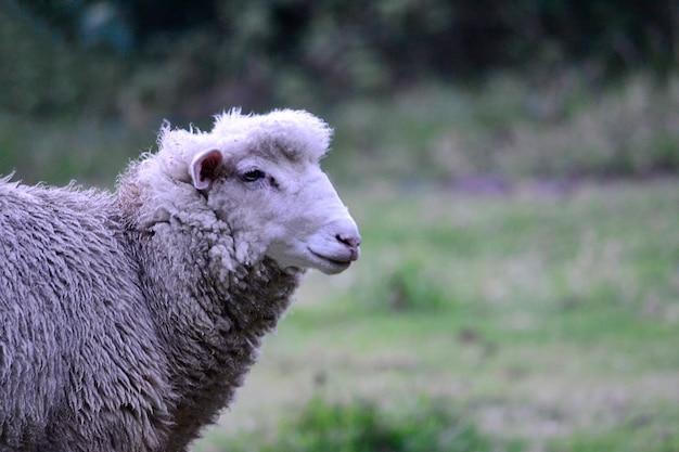 Bella profilo pecore animale bianco