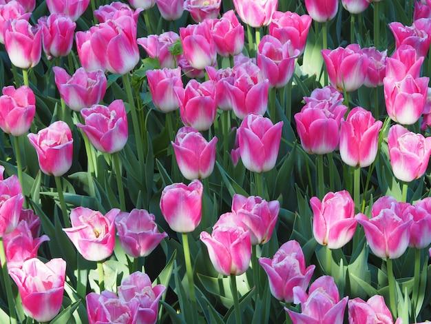 Bella ripresa delle affascinanti piante da fiore tulipa sprengeri in mezzo al campo