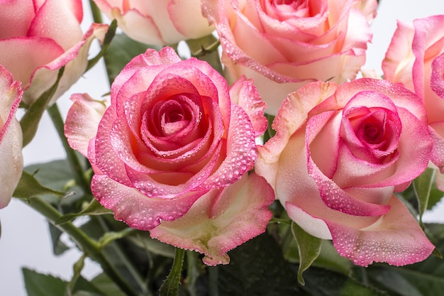 Bella rosa rosa in un giardino.
