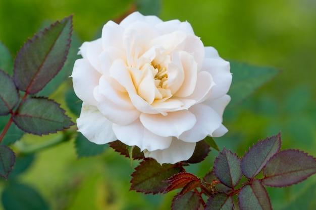 Bella rosa rosa in un giardino